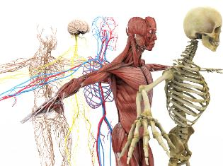 drawings of the human body skelton