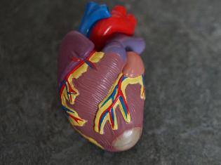 artificial heart used for education
